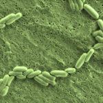 Probiotici intestinali - Bifidobacterium lactis