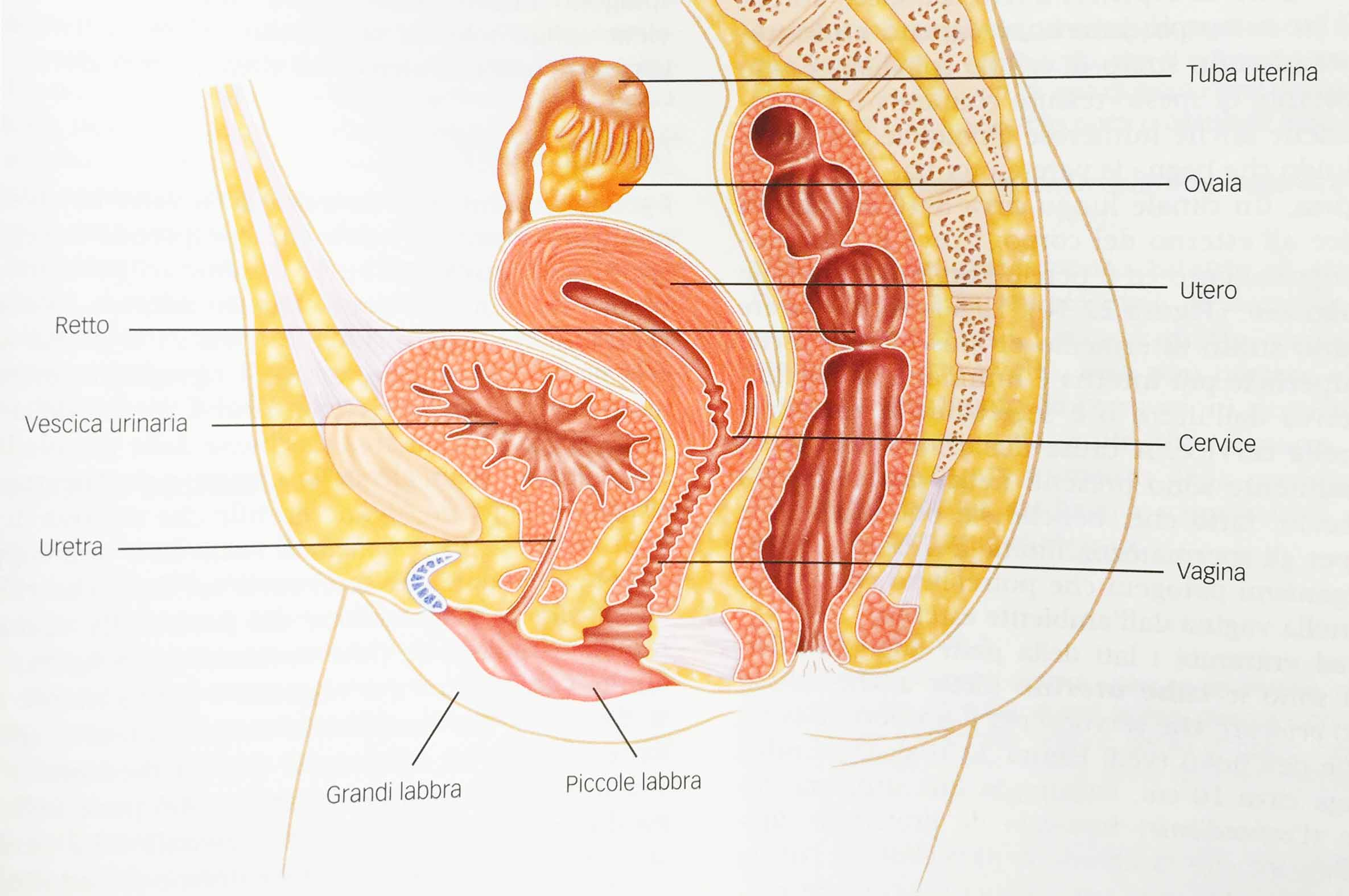 Fig.1 – Sistema riproduttivo femminile. Sezione sagittale che mostra i principali organi riproduttivi - Ciclo mestruale