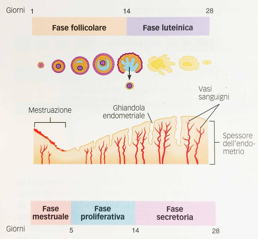 Fig.3 – Ciclo ovarico e uterino a confronto - Ciclo mestruale
