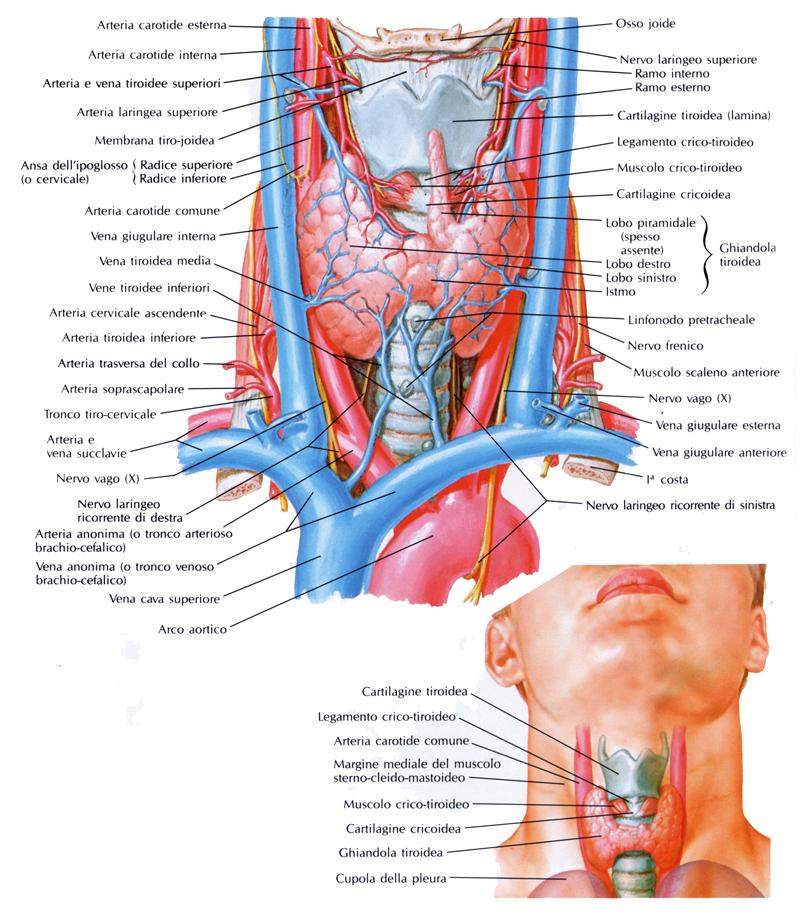 figure_1_thyroid