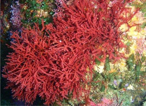 alga rossa agar