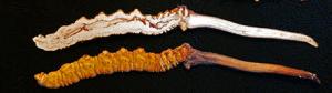 Sezione di Cordyceps sinensis